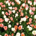 Лиссе, Голландия - Ежегодный парад цветов в парке Кёкенхоф