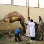 Улицы Каира - парикмахерская для верблюдов